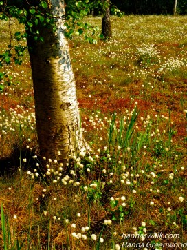 Åmosen, cotton flowers, Lyngby