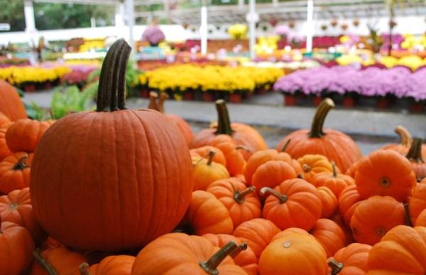 Pumpkins & Mums