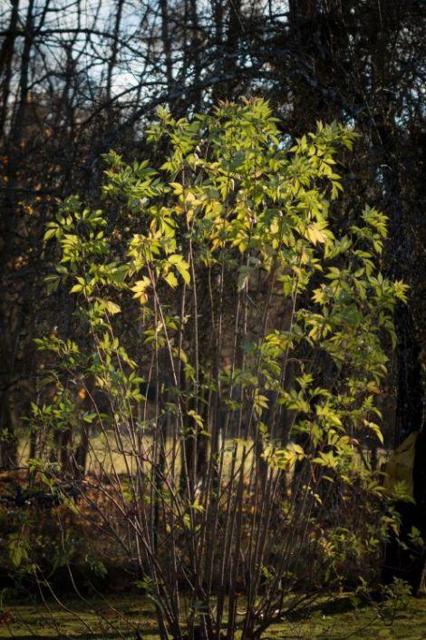 Elder shrub