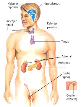 Kelenjar Hormon : kelenjar, hormon, Sistem, Hormon, Vanessaawimaas