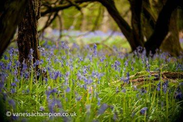 copyright Vanessa Champion Ashridge Bluebell woods fine art prints available