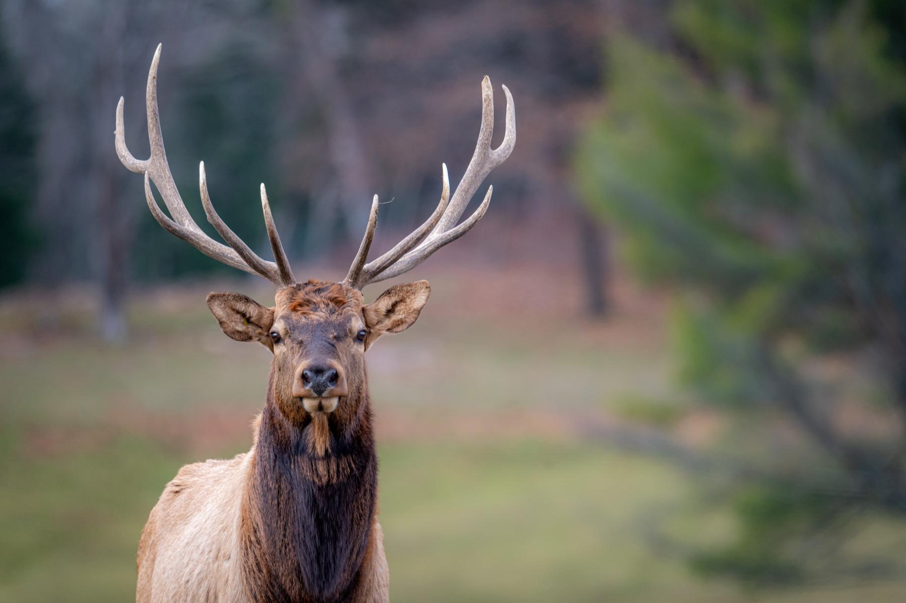 Elk Portrait (Nikon Z6 + 500mm f5.6)