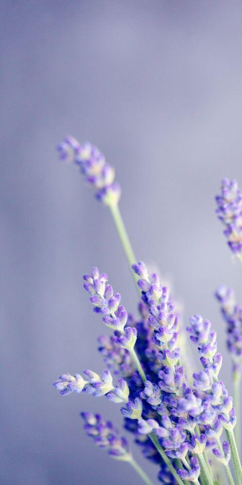 lavender-naturopathicmedicine
