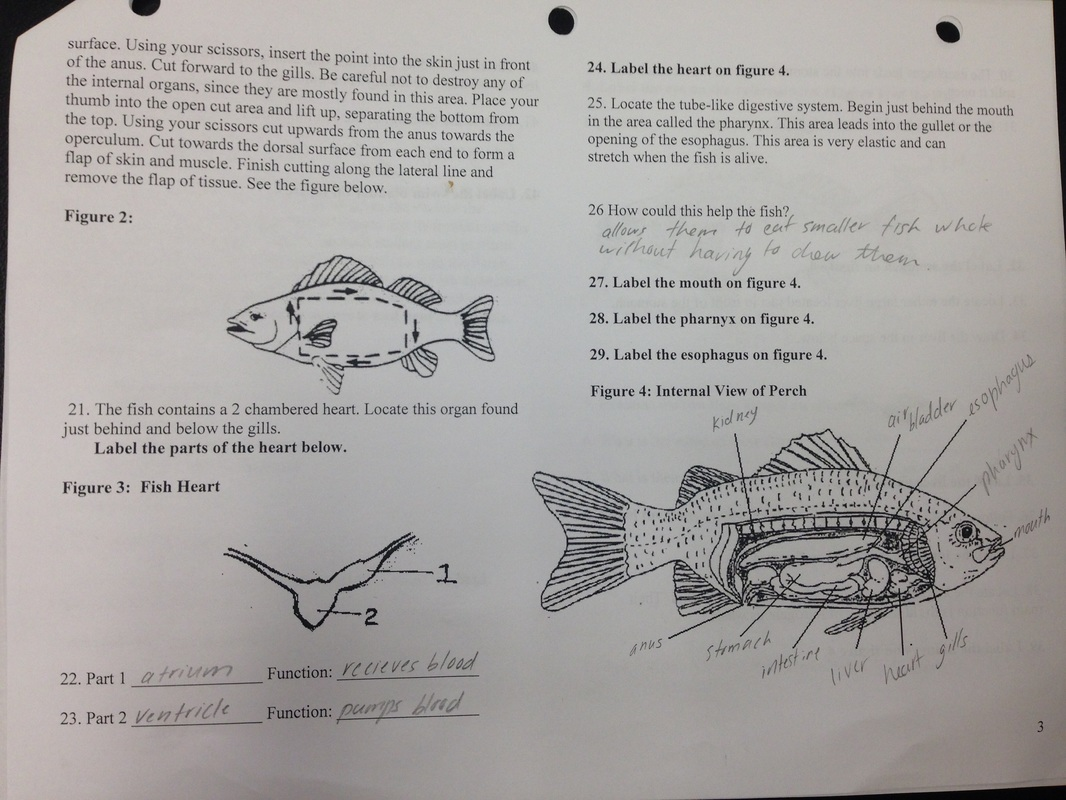 Squid External Anatomy Diagram