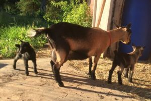 Herd Doe: Nigerian Dwarf Goat herd doe Happy Hoof Acres Dixie, Langley, Vancouver, BC, Canada