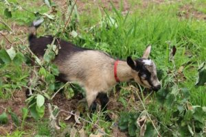 Herd Doe: Nigerian Dwarf Goat Happy Hoof Acres Dixie, Langley, British Columbia, Canada