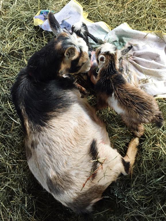 a doe licks of her newborn kids