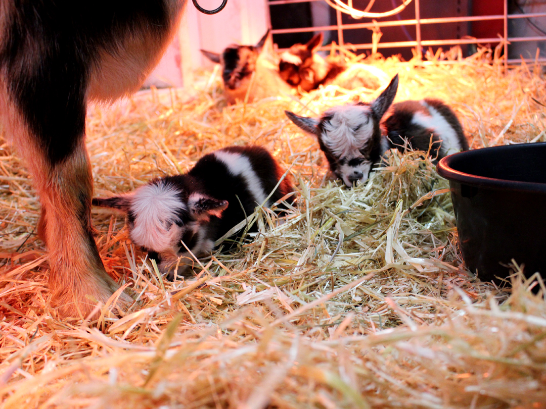 kidding pen bedded with straw and shavings