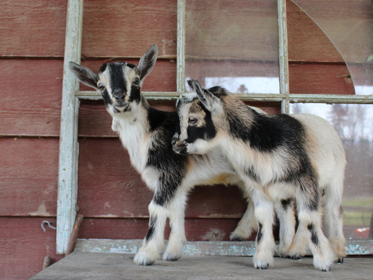Nigerian Dwarf Goat Kids for sale