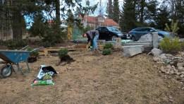 transpanting shrubs