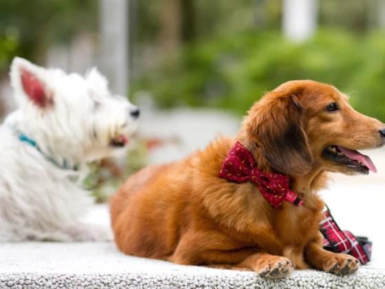Zee.Dog | Vanillapup