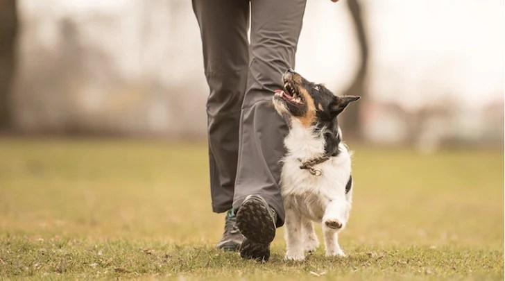 Dog Walking to Heel