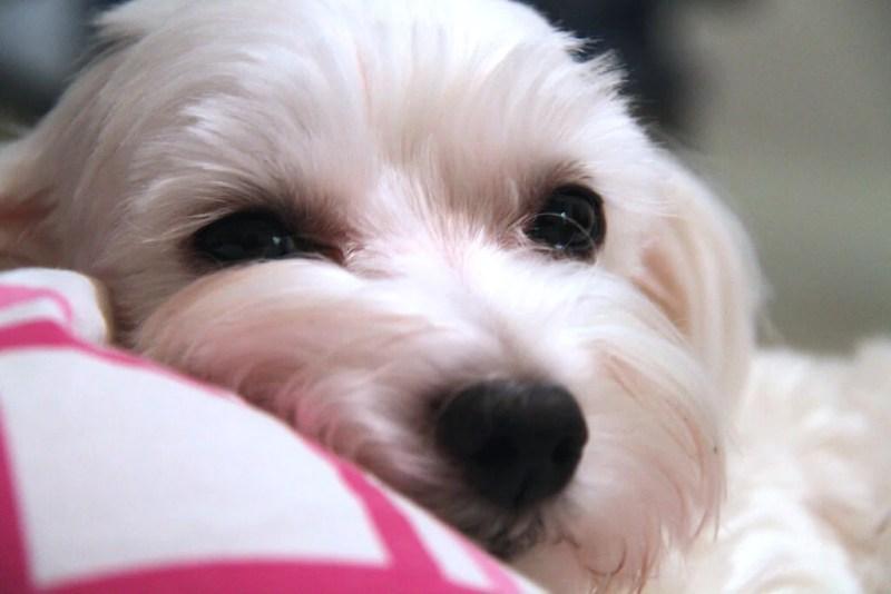 Maltese GME in Dogs   Vanillapup