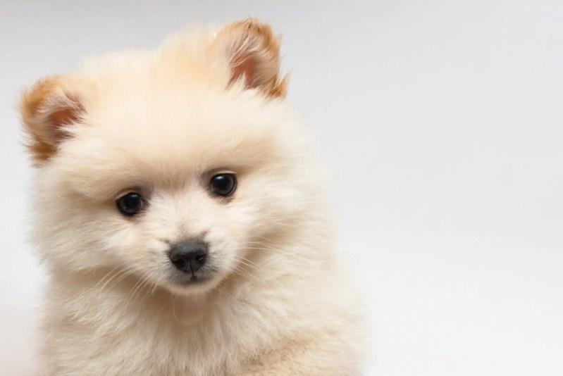 Understanding Dog Diabetes   Vanillapup