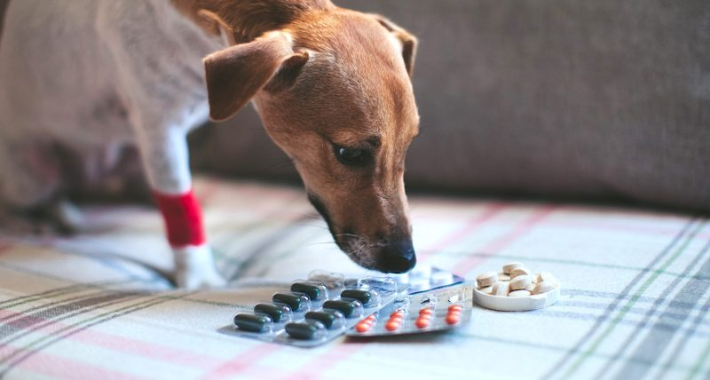 How to Feed Your Dog a Pill   Vanillapup