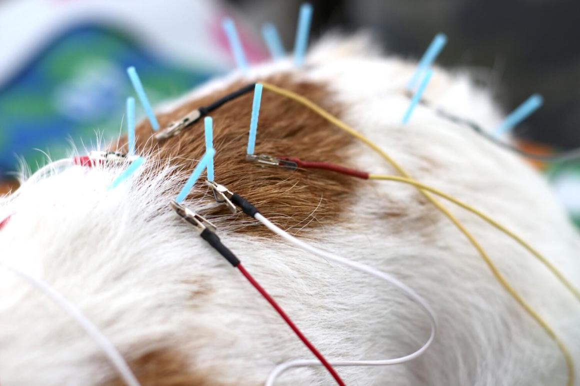 Electropuncture for Pets | Vanillapup