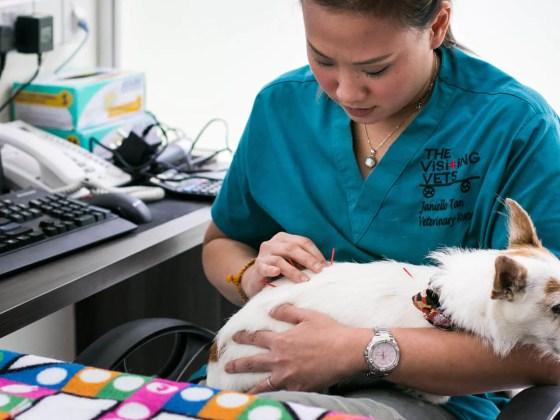 Pippin Having Pet Acupuncture | Vanillapup