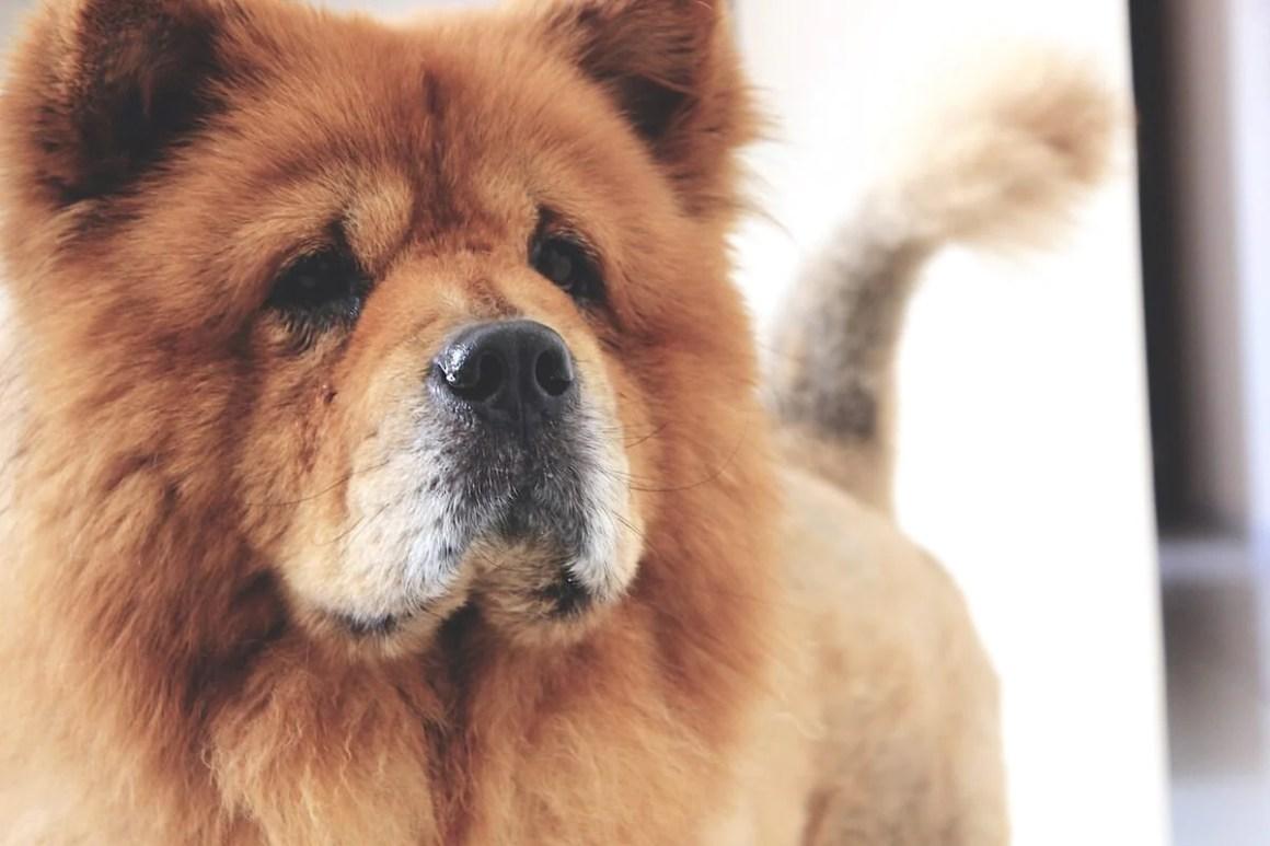 Chow Chow Dog Breed | Vanillapup