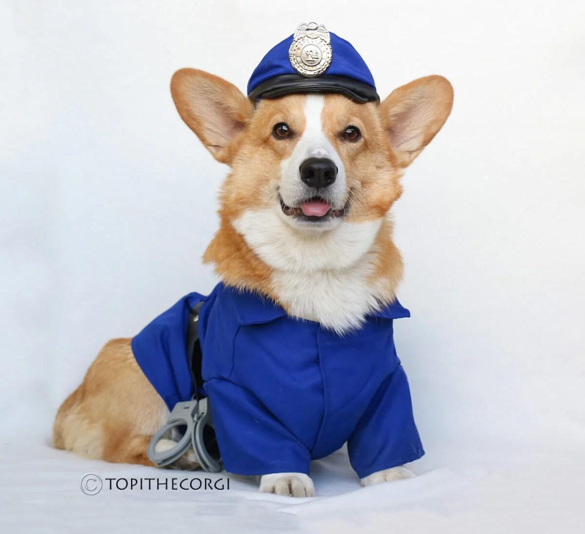 Topi the Corgi Police | Vanillapup