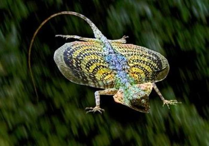 wildlife flying lizard kerala india