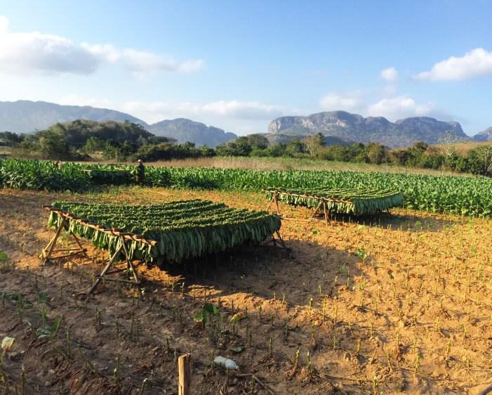 Viñales Horseback Riding & Cuban Tobacco Farms