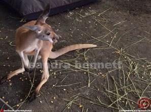 ...Kangaroo in Vankleek Hill?