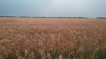 Wheat fields. FAITH MECKLEY