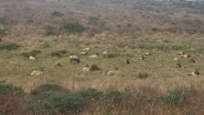 A herd of tule elk lounges in the grass near the trail. FAITH MECKLEY