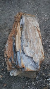 Petrification occurs when wood is replaced by quartz crystals, turning trees to stone. FAITH MECKLEY