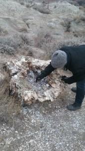 Aria examines a petrified tree stump. FAITH MECKLEY