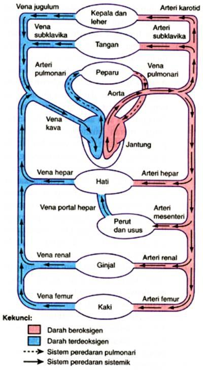 Peredaran Darah Getah Bening : peredaran, darah, getah, bening, Sistem, Peredaran, Darah, Manusia, Evanendra