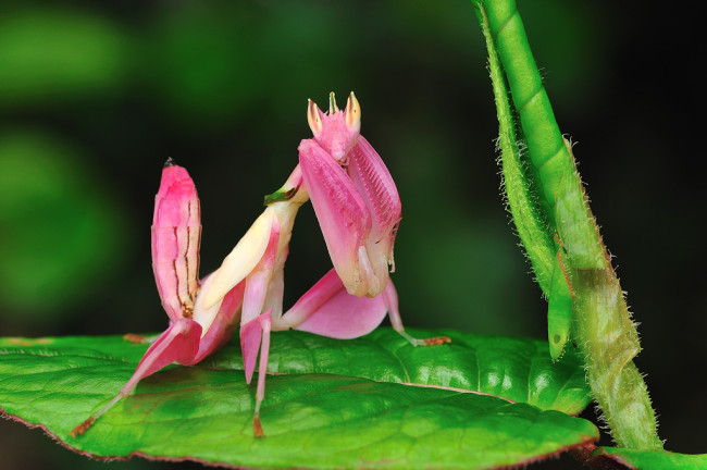 orchid-praying-mantis-1-650x432