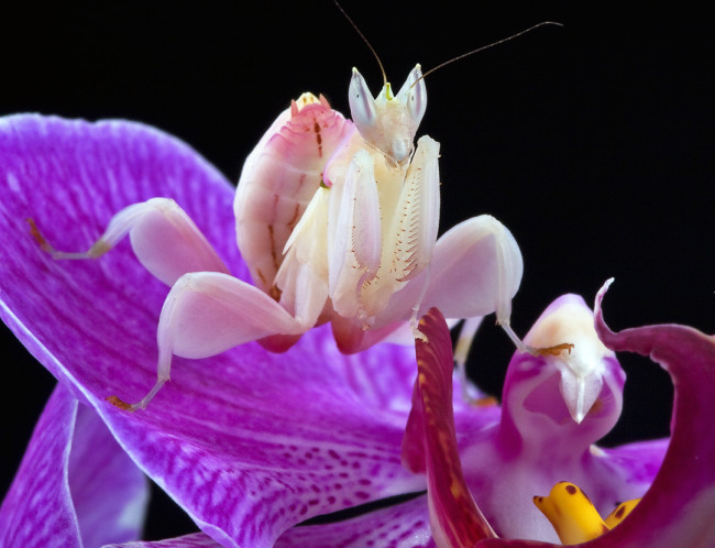 orchid-praying-mantis-3-650x498