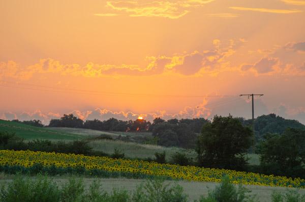 Sonnenblumenfeld im Sonnenuntergang