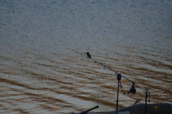Eisvogel auf der Angelrute
