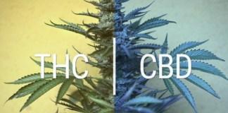 cbd thc