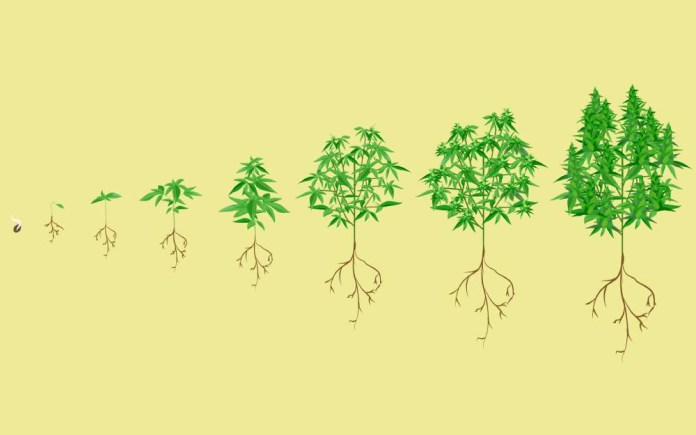 6 Different Stages (life Cycle) Of Cannabis Plant