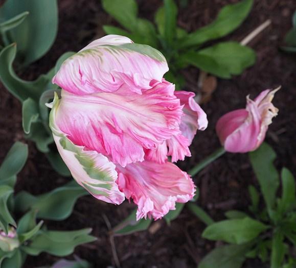 Tulip-unfurling
