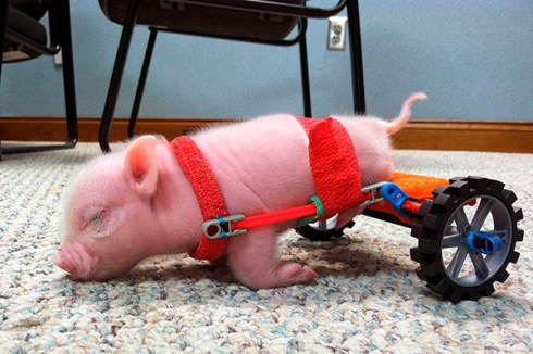 Piglet on Wheels, Florida, America - 01 Feb 2013