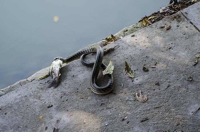 snake-catching-fish-in-karna-lake-6