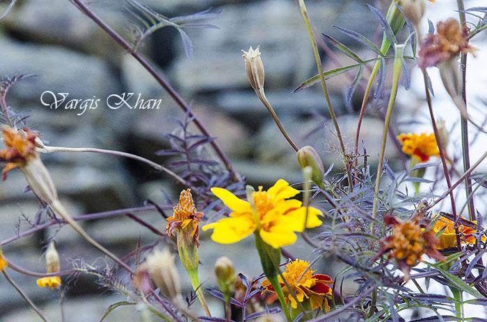 vargis-khan-flower-photography-4