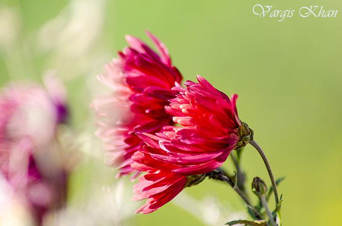 vargis-khan-flower-photography-7