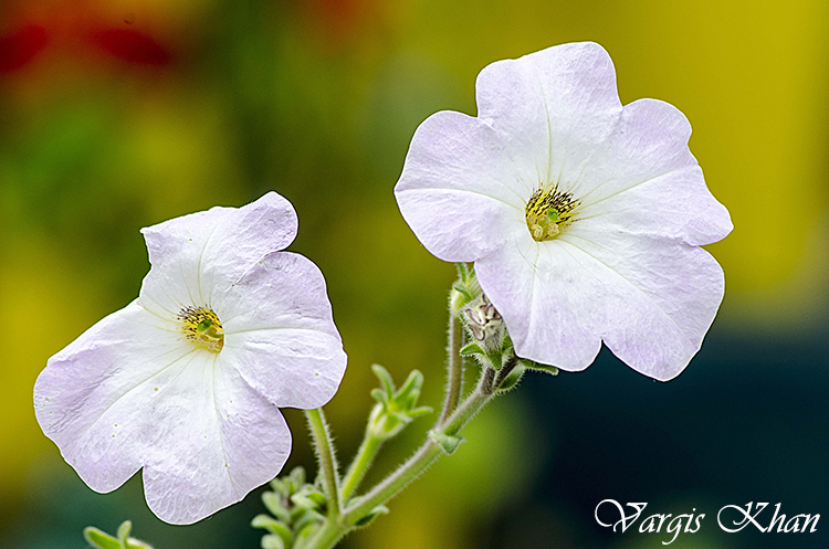 vargis-khan-photography-flowers-1