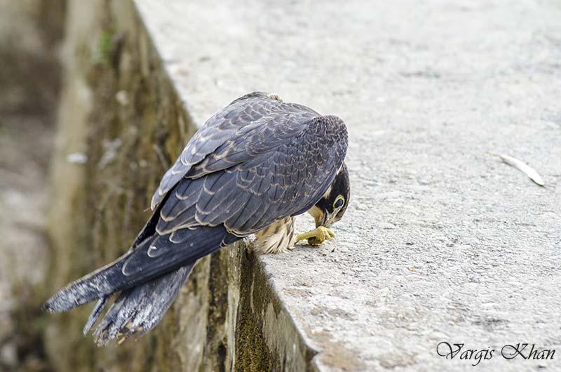 pet falcon