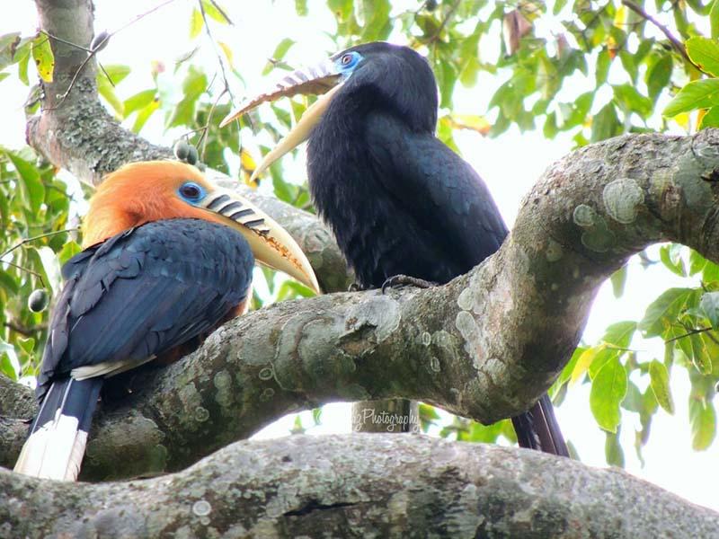 hornbill bird in darjeeling