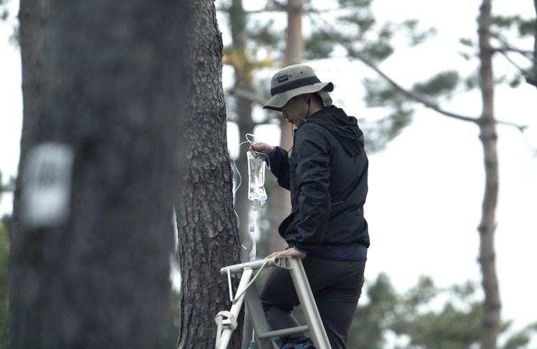 A person in a black sweatshirt, black pants, and a beige bucket hat stands near the top run of a ladder in a cluster of tall, thin, rough-barked coniferous trees. The person holds an IV bag full of a clear liquid.