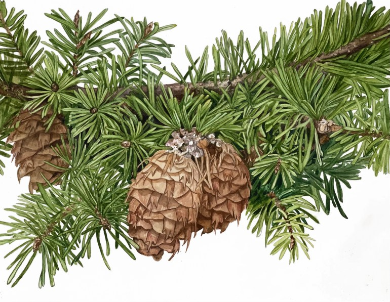 A vibrant, lifelike painting of budding pinecones on a pine branch against a white background.