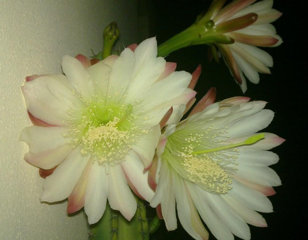 Cactus flowers (3/6)