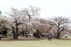 Tokyo, Japan - April 12, 2019: Many tourists visit to Shinjuku Gyoen National Garden for seeing the cherry blossom trees, Japan