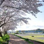 相模川(神奈川県)の「桜」ライブカメラ!ネットで花見をしよう。